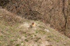 Bobak Marmota сурока bobak, также известное как сурок степи, который взобрался из отверстия стоковые изображения
