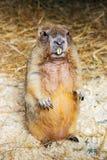 Bobak murmeldjur Arkivfoton