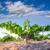Bobal葡萄酒在未加工的葡萄园为收获准备 库存图片