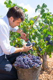 Bobal harvesting with harvester farmer winemaker. In Mediterranean stock images
