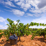 Bobal harvesting with wine grapes harvest Royalty Free Stock Photo