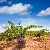 Bobal harvesting with wine grapes harvest Royalty Free Stock Photography