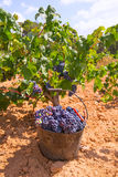 Bobal harvesting with wine grapes harvest Royalty Free Stock Images