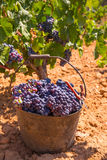Bobal harvesting with wine grapes harvest Stock Photography