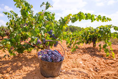 Bobal harvesting with wine grapes harvest Royalty Free Stock Photos