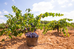 Bobal harvesting with wine grapes harvest Stock Photos