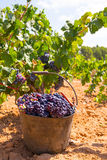 Bobal harvesting with wine grapes harvest Stock Images