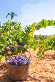 Bobal harvesting with wine grapes harvest Stock Image