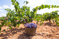 Bobal harvesting with wine grapes harvest Stock Photo