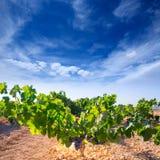 Bobal-Weinreben im rohen Weinberg bereiten für Ernte vor Lizenzfreie Stockfotos