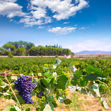 Bobal wine grapes ready for harvest in Mediterranean Royalty Free Stock Images
