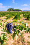 Bobal wine grapes ready for harvest in Mediterranean Royalty Free Stock Photo