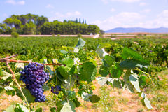 Bobal wine grapes ready for harvest in Mediterranean Royalty Free Stock Image