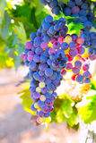 Bobal Wine grapes in vineyard raw ready for harvest Stock Photography
