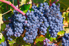Bobal Wine grapes in vineyard raw ready for harvest Royalty Free Stock Images