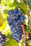 Bobal Wine grapes in vineyard raw ready for harvest Royalty Free Stock Photo