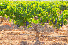 Bobal Wine grapes in vineyard raw ready for harvest Royalty Free Stock Image