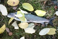 Bobberhin- und herbewegung im Wasser mit gelben Blättern Solches Willkommen zu mutigem Grayling Herbst der Fischer lizenzfreies stockbild