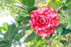 Bobbie fain camellia Stock Images