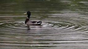 Bobbing κυματισμοί νερού πρασινολαιμών παπιών απόθεμα βίντεο