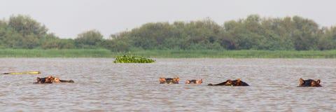 Bobbing Hippos Stock Image