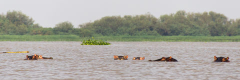 Bobbing Hippos. A pod of hippos bobbing in the water of Lake Victoria in Kenya Stock Image