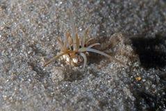 Bobbit tiene gusto (el gusano de mar) Imagen de archivo libre de regalías