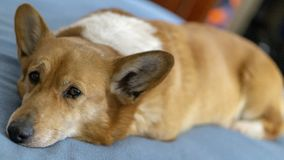 Bobby the Family Dog Chilling In Bed With Me. Bobby the Family Corgi Snoozing While I Relax In Bed stock image
