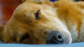 Bobby the Family Dog Chilling In Bed With Me. Bobby the Family Corgi Snoozing While I Relax In Bed stock photo