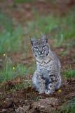 bobcat άνοιξη Στοκ Εικόνες