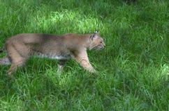 bobcat καταδιώκοντας στοκ εικόνα με δικαίωμα ελεύθερης χρήσης