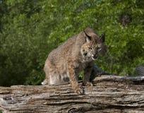 bobcat ξαφνική επίθεση έτοιμη Στοκ Φωτογραφία