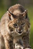 Bobcat που εξετάζει τη κάμερα Στοκ Εικόνες