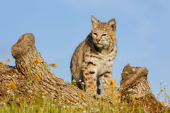 Bobcat που στέκεται σε ένα κούτσουρο Στοκ εικόνα με δικαίωμα ελεύθερης χρήσης