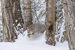 Bobcat στο χιόνι Στοκ Εικόνα