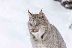 Bobcat στο χιόνι Στοκ Εικόνες
