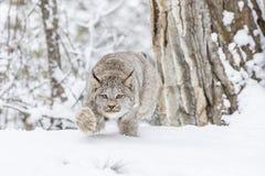 Bobcat στο χιόνι Στοκ εικόνες με δικαίωμα ελεύθερης χρήσης