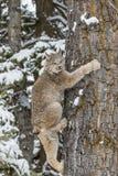 Bobcat στο χιόνι Στοκ φωτογραφία με δικαίωμα ελεύθερης χρήσης