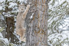 Bobcat στο χιόνι Στοκ εικόνα με δικαίωμα ελεύθερης χρήσης