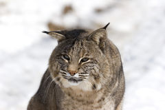 Bobcat    Stock Foto