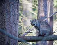 Bobcat. Picture of a bobcat outside Royalty Free Stock Photography