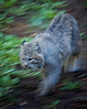 Bobcat. Picture of a bobcat outside Stock Photos
