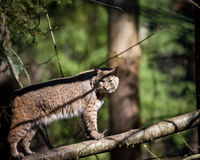Bobcat. Picture of a bobcat outside Stock Photography