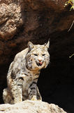 Bobcat. A bobcat with his tongue sticking out Royalty Free Stock Image