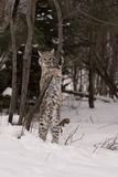 bobcat Arkivfoton
