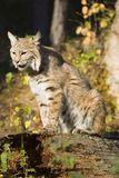 Bobcat. A bobcat in the forest Stock Photography