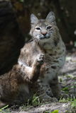 Bobcat. The Bobcat (Lynx rufus) is a North American mammal of the cat family, Felidae. With twelve recognized subspecies, it ranges from southern Canada to Royalty Free Stock Photos