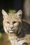 Bobcat. A bobcat in the forest Royalty Free Stock Photos
