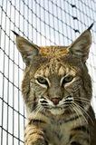 Bobcat. In its cage at the zoo from inside the cage Royalty Free Stock Image