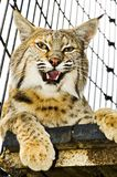 Bobcat. In its cage at the zoo from inside the cage Royalty Free Stock Photo